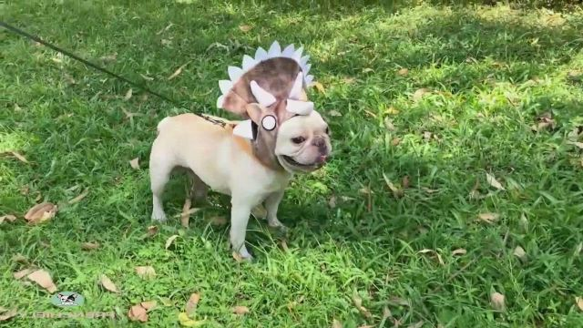 Dog Halloween Dinosaur Costume Outfits For Bulldog - Video & GIFs | pet halloween costumes,bulldog halloween costumes,small dog costumes,french bulldog halloween costumes,funny costumes,pet costumes,dog and owner costumes,cute dogs and puppies,baby dogs,doggies