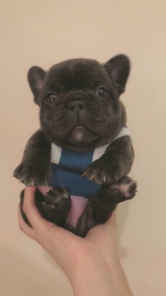 Funny French Bulldogs - Video & GIFs   super cute puppies,french bulldog funny,cute funny animals,bugg puppies,funny puppies,dogs and puppies,french bulldog clothes,french bulldog puppies,cutest animals,cute funny puppy videos,pug videos