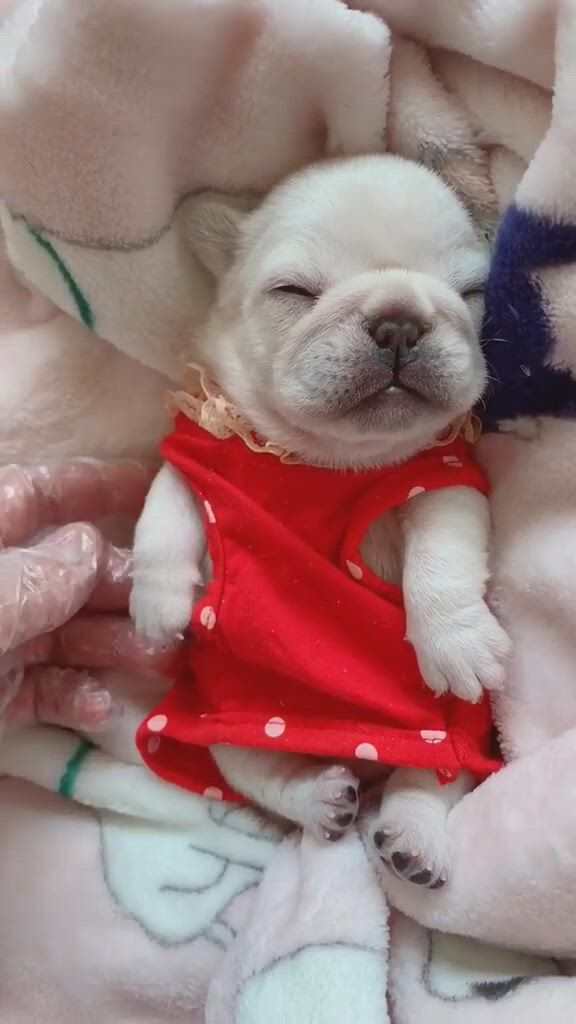Sleeping Frenchie Puppy